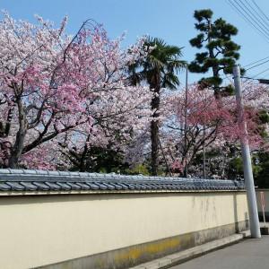 tera sakura